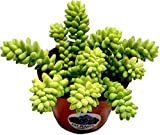 Fat Plants San Diego Succulent Plant(s) Fully Rooted in 4 inch...