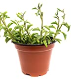 Dolphin Strings 4inch Succulent (1 Count) - Decorate Your...