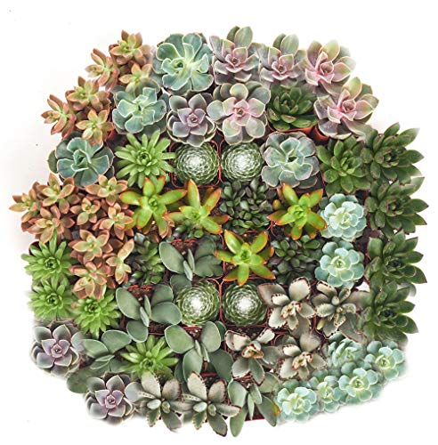Shop Succulents | Assorted Collection | Variety Set of Hand...