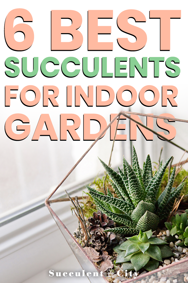 6 Best Indoor Succulents | SucculentCity.com