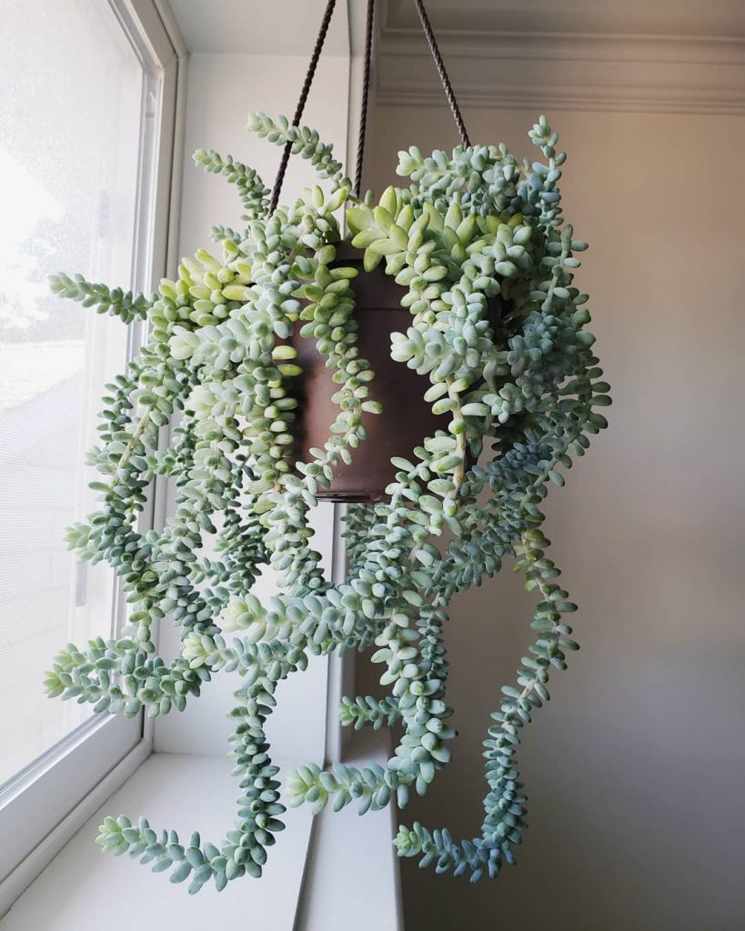 Hanging Burros Tail Succulent Plant