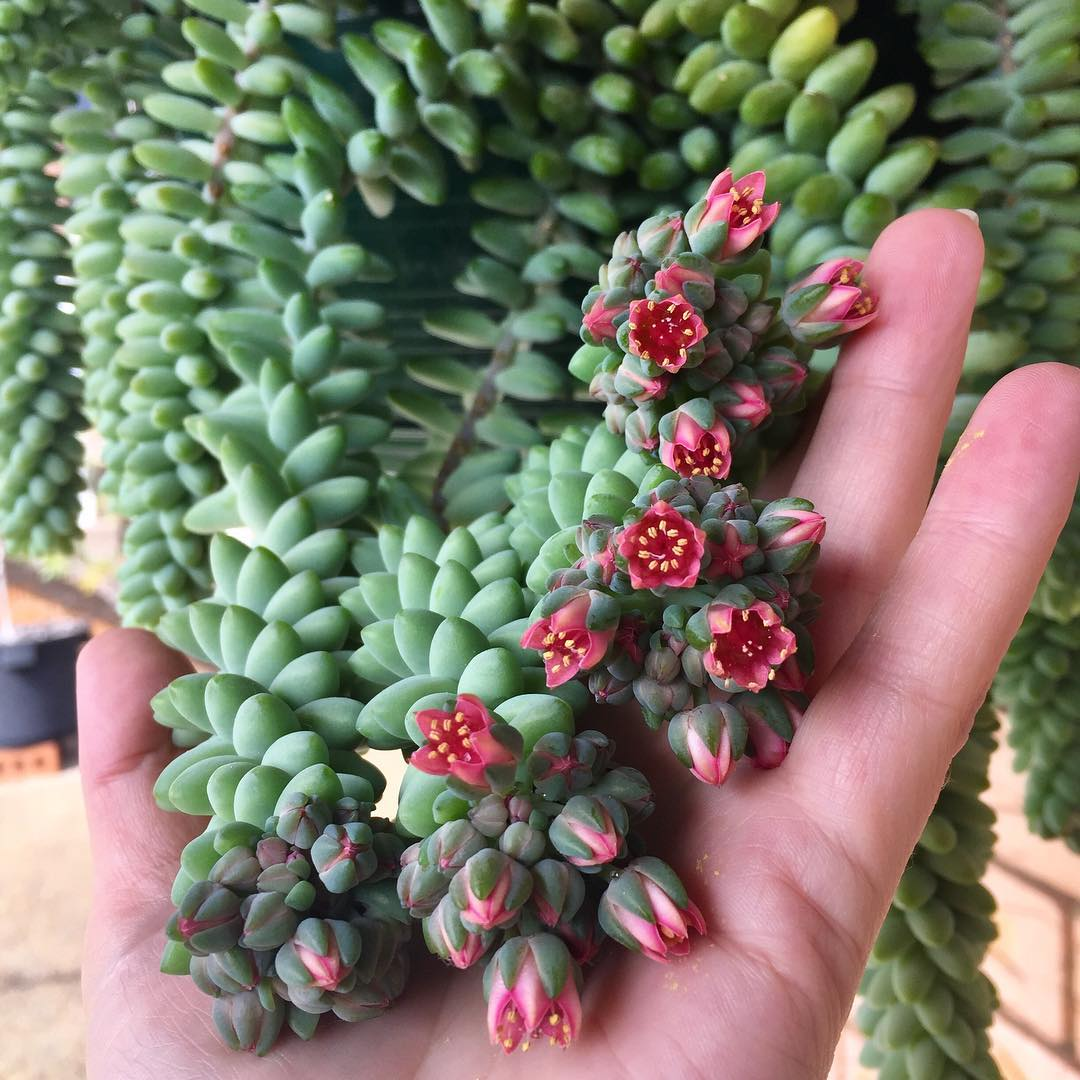 Burros Tail Succulent Tips