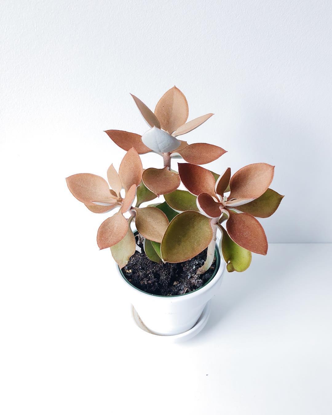 Copper Spoons Succulent Plant