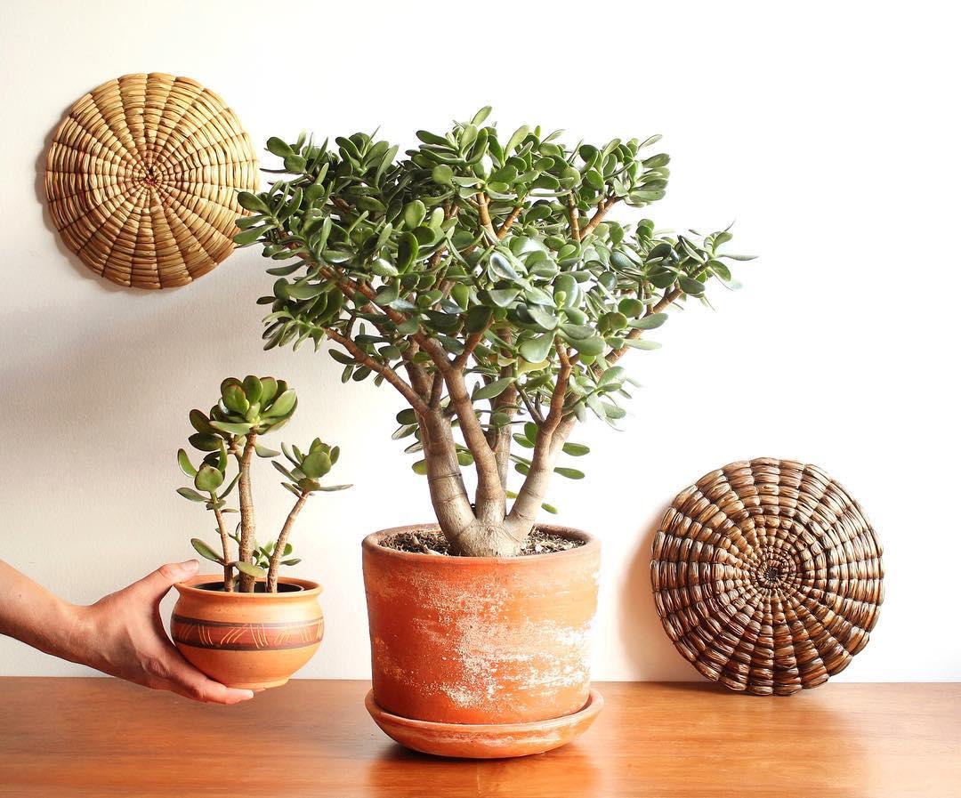 Jade Plant Crassula Ovata Succulent Plant