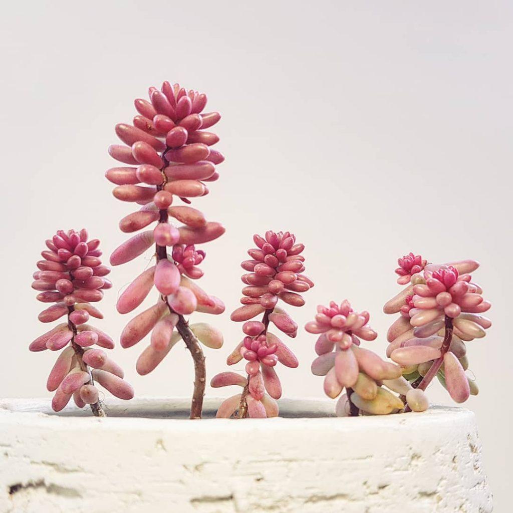 Jelly Bean Plant Sedum Rubrinctum Succulent Plant