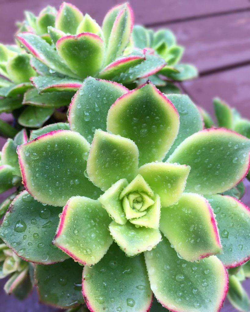 Kiwi Aeonium Succulent Plant