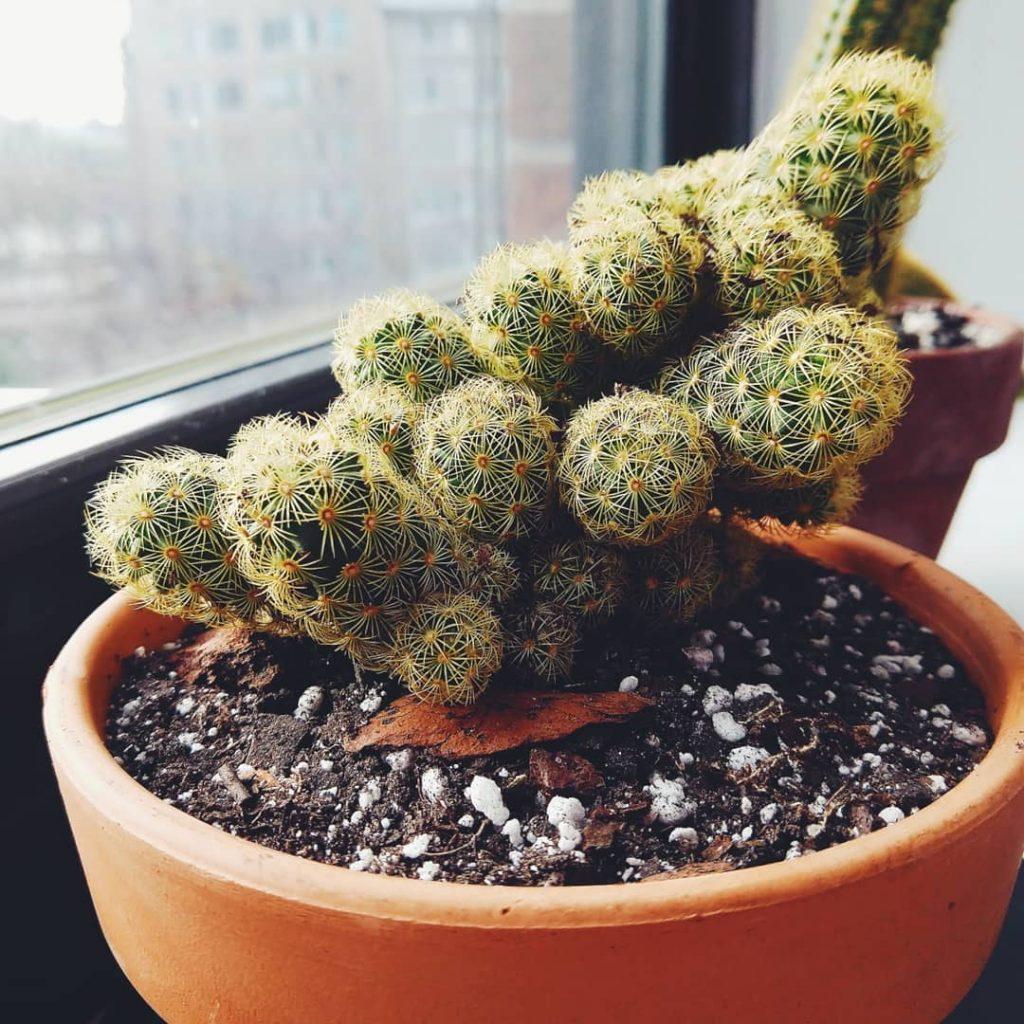 Ladyfinger Cactus Mamilliaria Succulent Plant