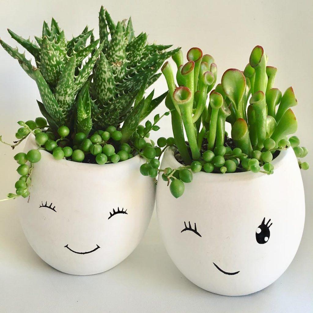 Ogre Ears Crassula Ovata Succulent Plant