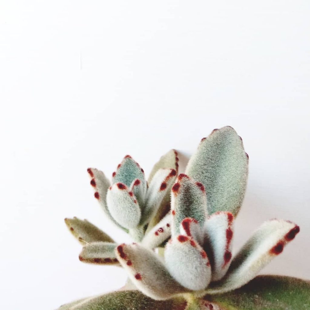 Panda Plant Succulent Close Up