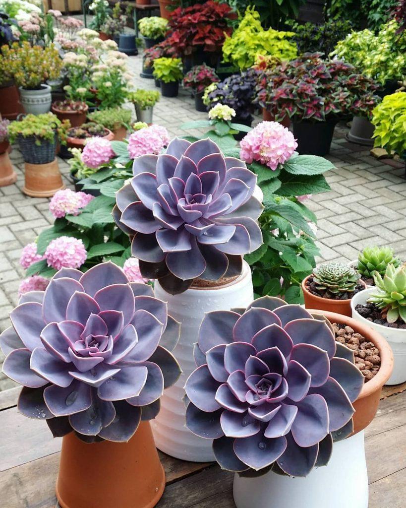 Perle Von Nurnburg Echeveria Hybrid Succulent Plant