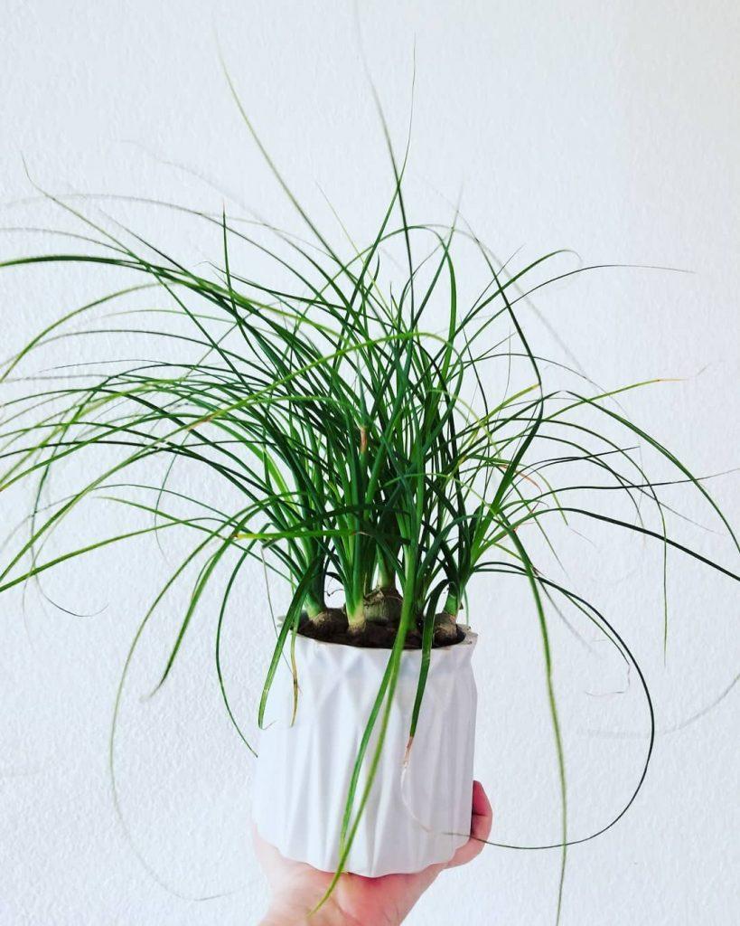 Ponytail Palm Succulent Plant
