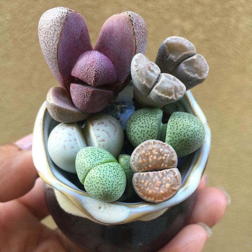 Split Rock Pleiospilos Nelii Succulent Plant
