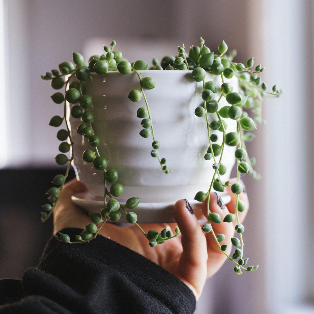 String of Pearls Senecio Rowleyanus Succulent Plant