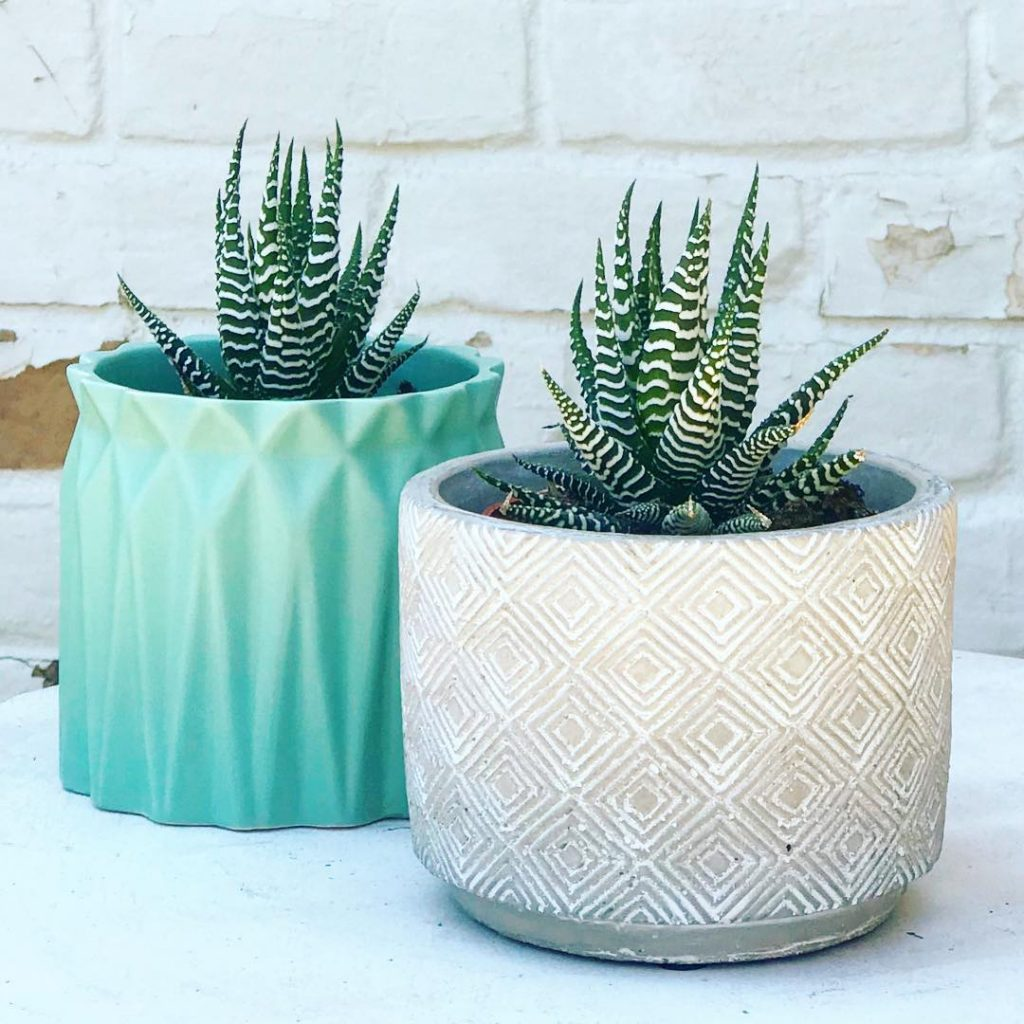 Two Zebra Haworthia Succulents in Blue & Tan Planters