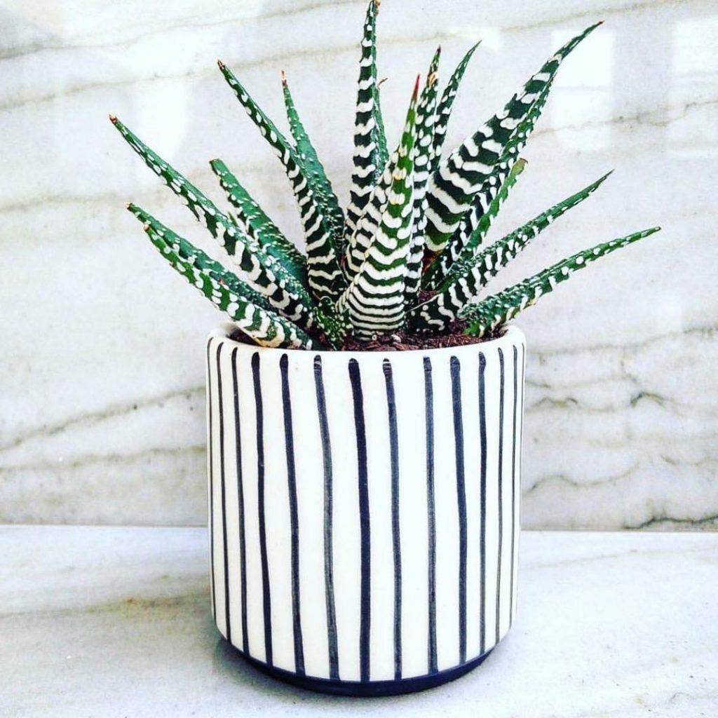 Zebra Succulent Plant Haworthia Attenuata