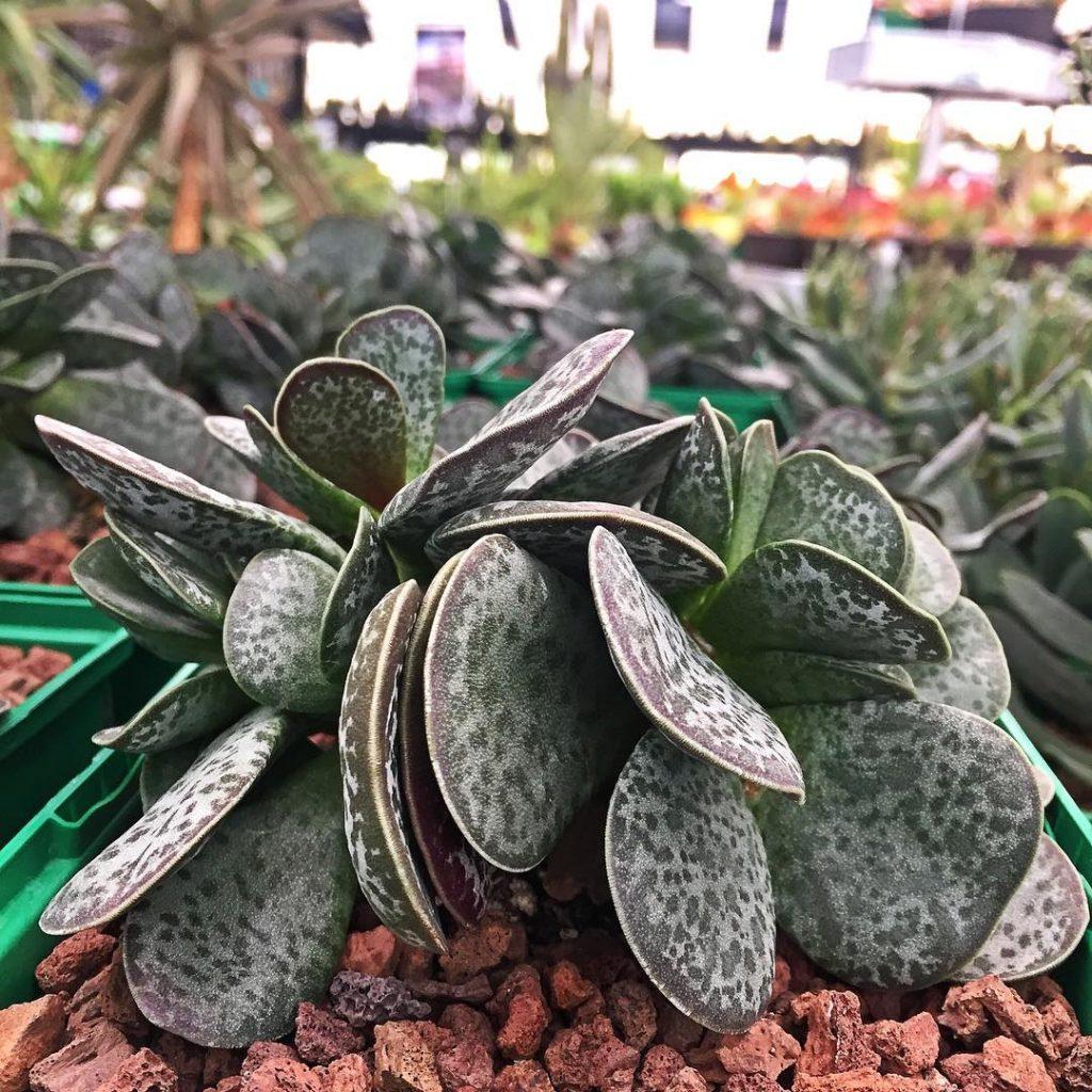 Adromischus Maculatus succulent