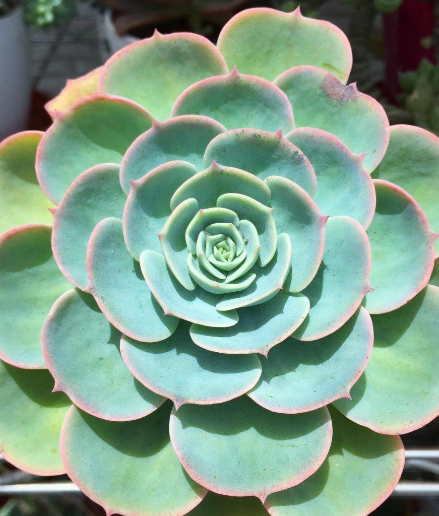 Echeveria imbricata succulent plant specie