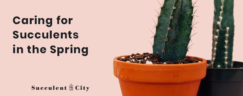 Caring for Succulents in the Spring