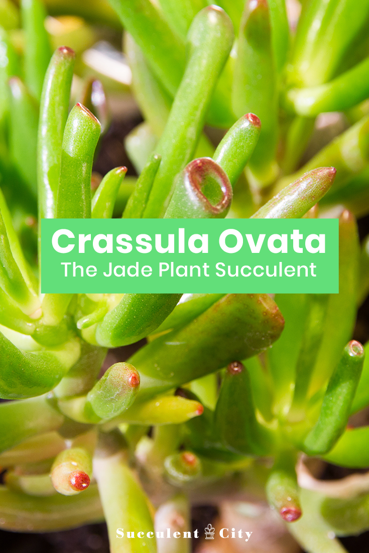 Crassula Ovata— the Jade Plant Succulent