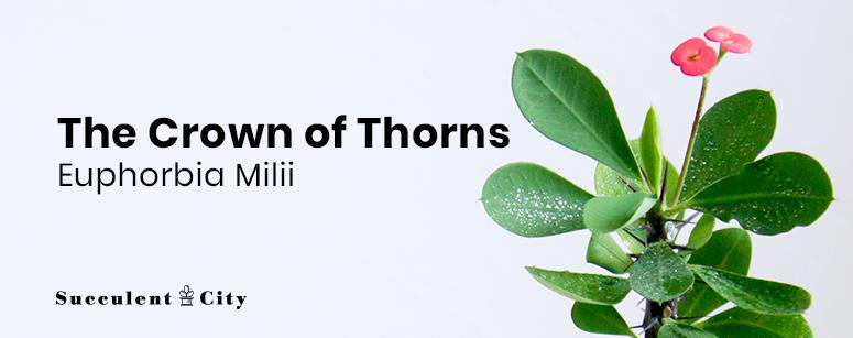 Crown of Thorns— Euphorbia Milii