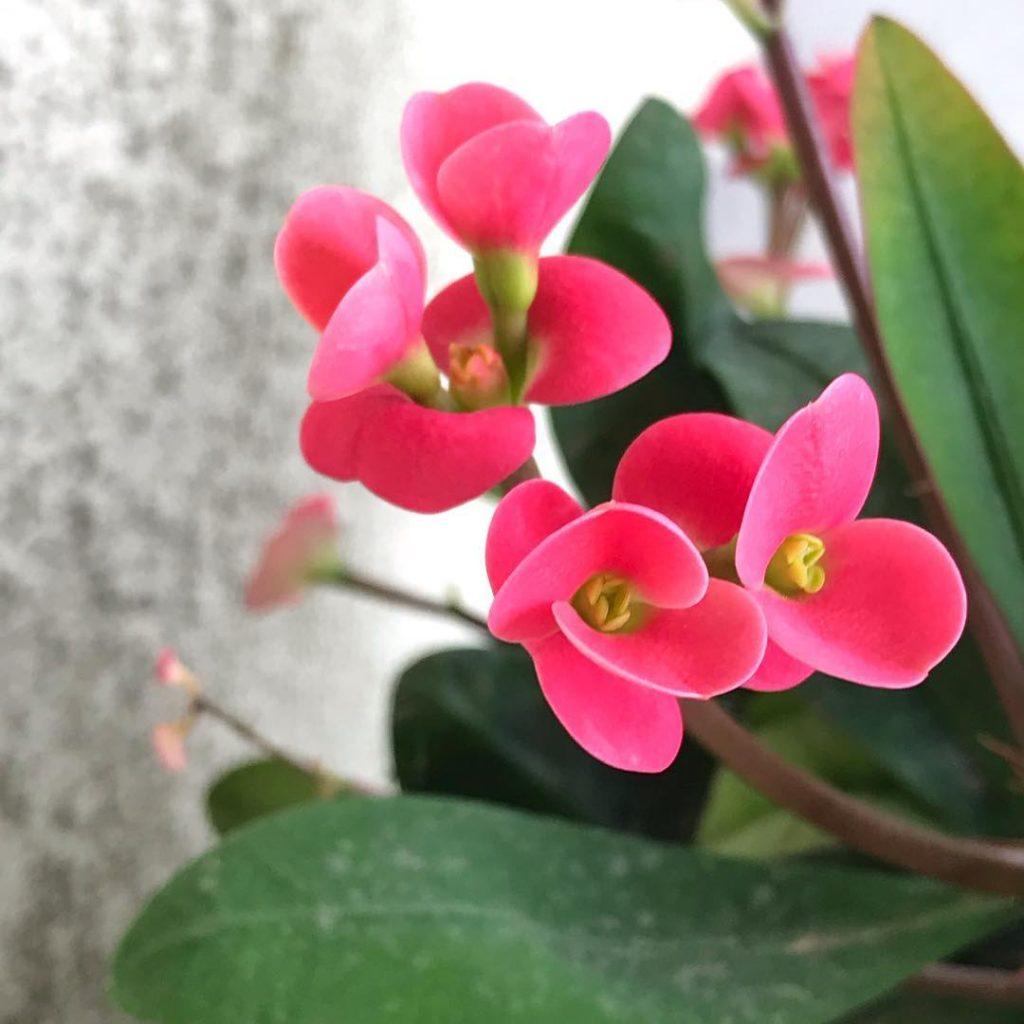 Euphorbia milii succulent plant