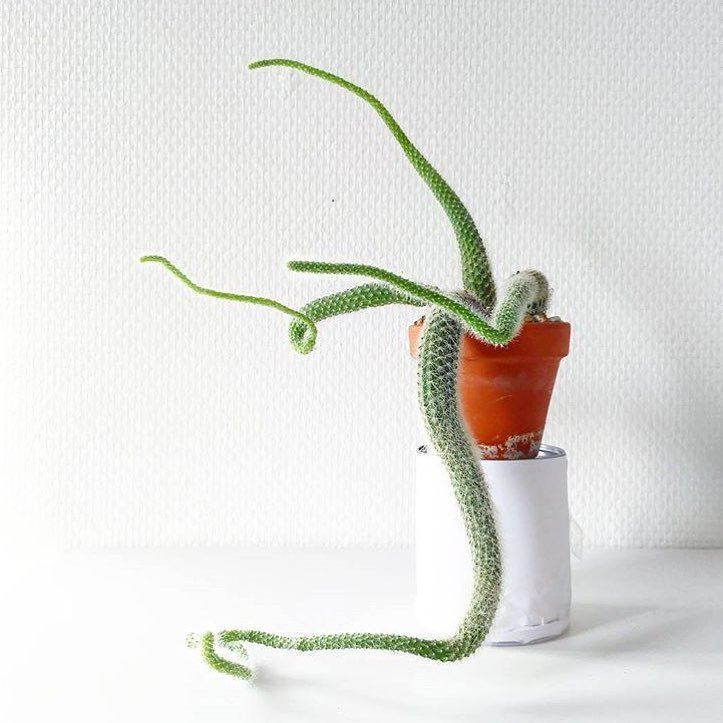 Etiolated cactus succulent