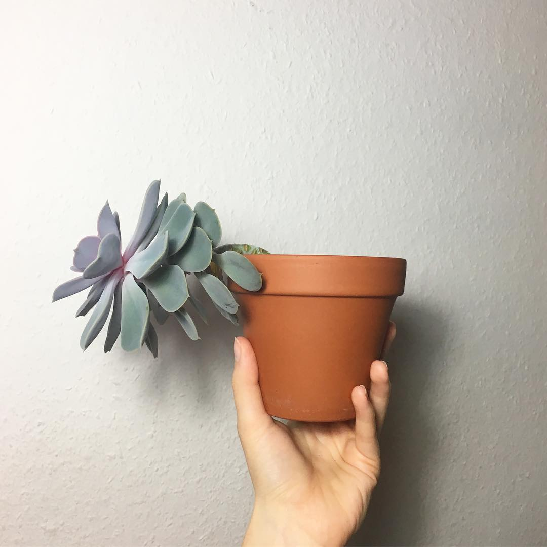 Extremely etiolated succulent plant in terra cotta pot