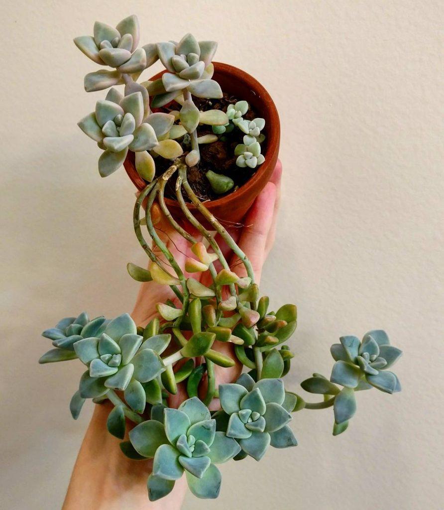 Etiolation in succulent plant