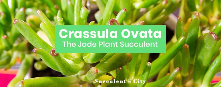 Crassula Ovata Jade Plant