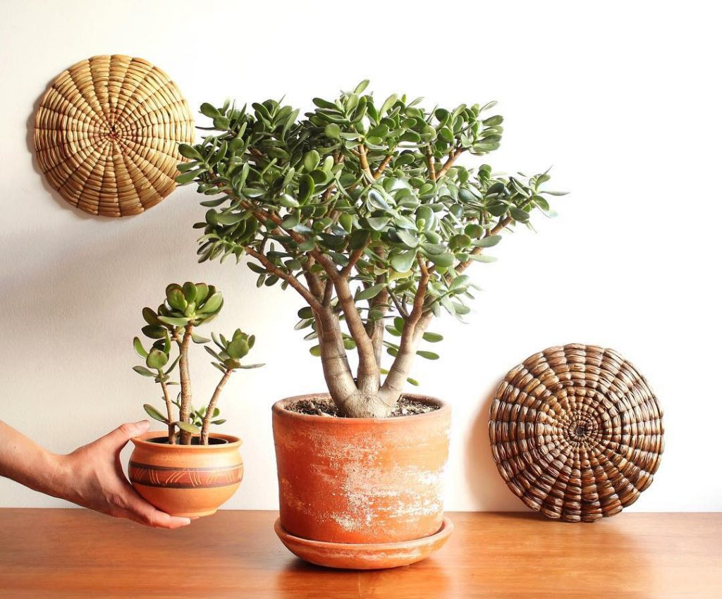 Jade plant crassula ovata