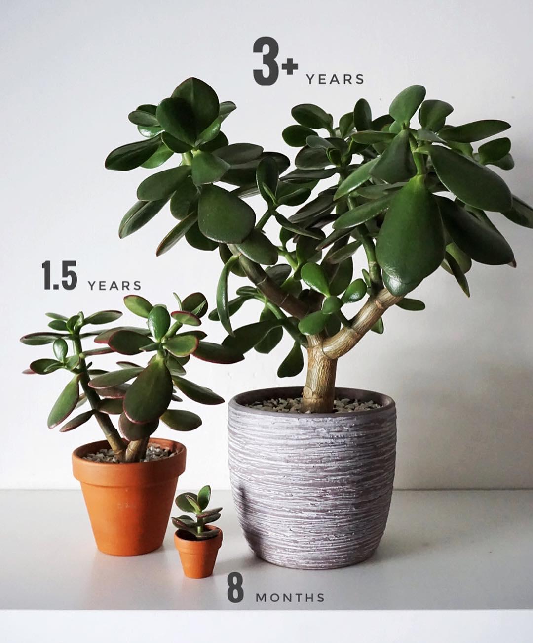 Crassula Ovata the Jade Plant