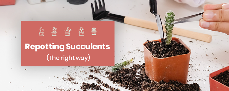 Repotting Succulents the Right Way