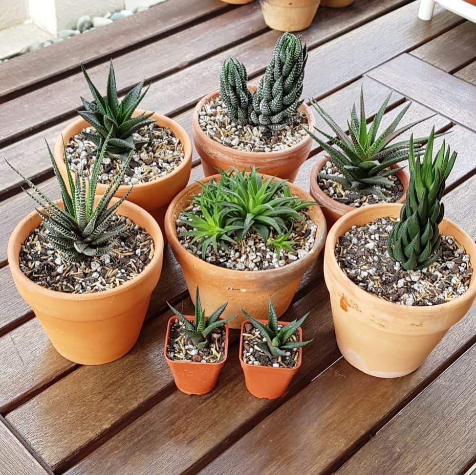 repotting succulents