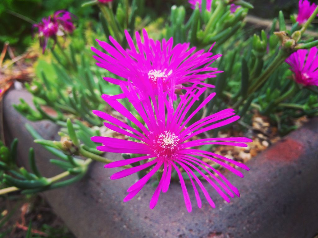 Drosanthemum Speciosum Rosea