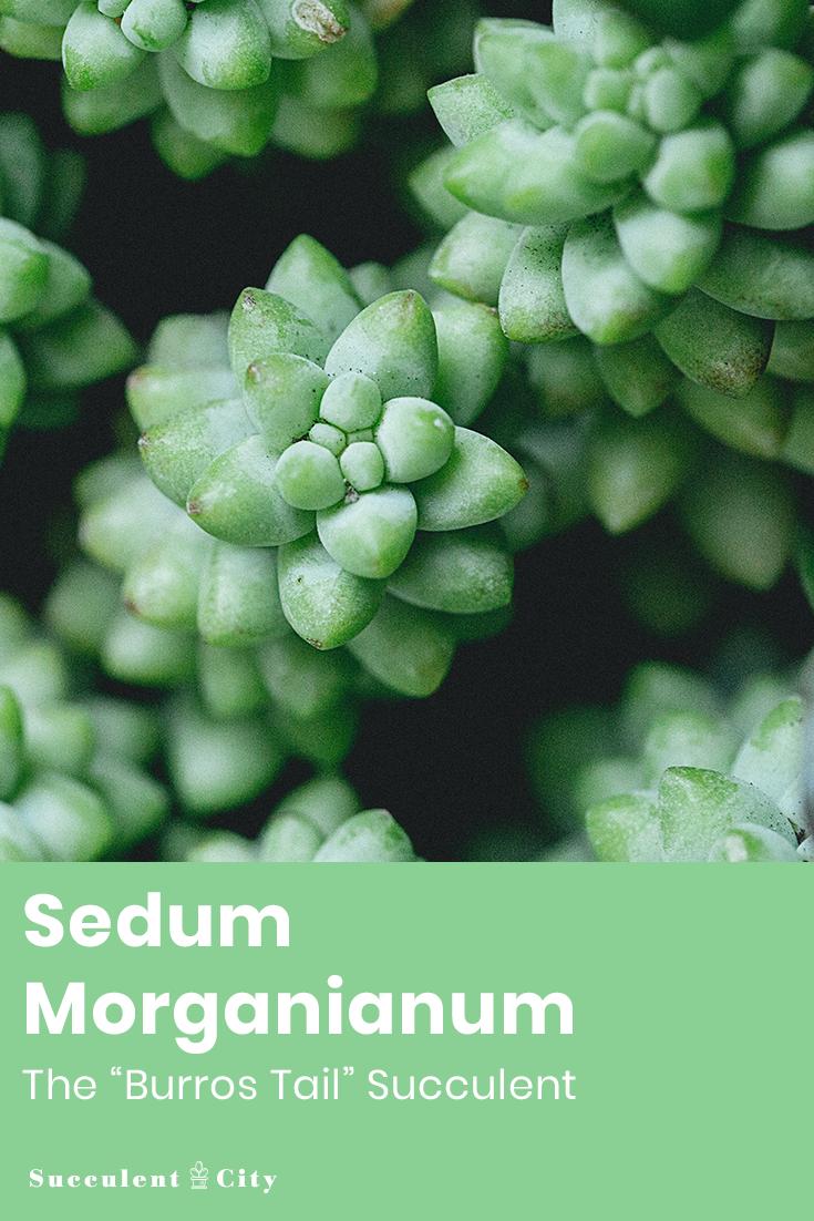 Sedum Morganianum— the Burros Tail Succulent Plant