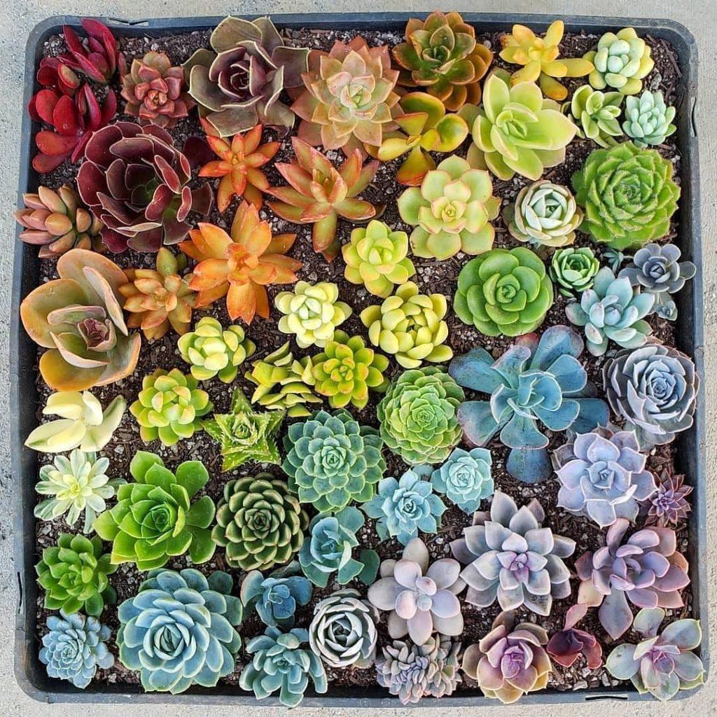 Succulent plant rainbow