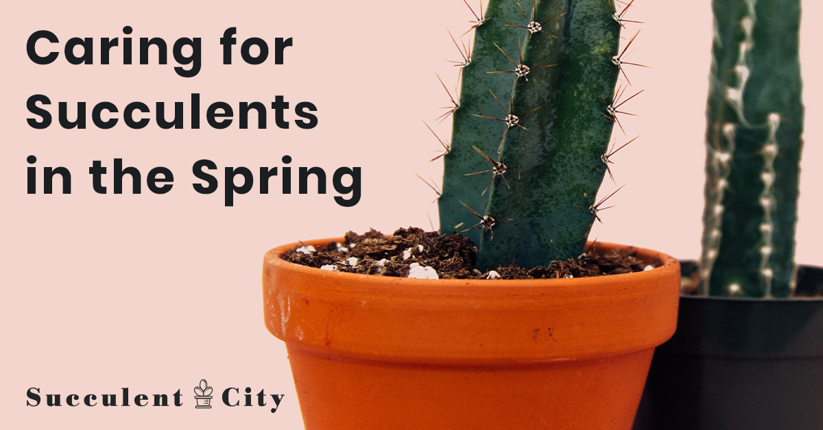 Caring For Succulents In The Spring Don T Miss The Care Tips