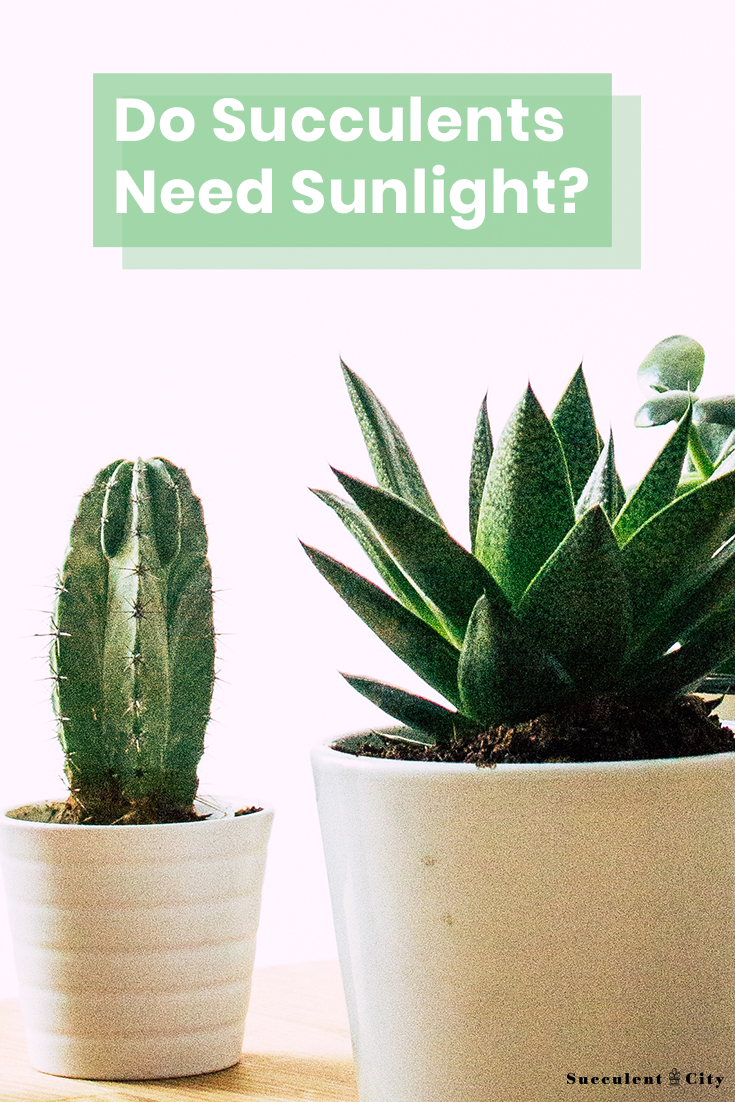 Do Succulents Need Sunlight?
