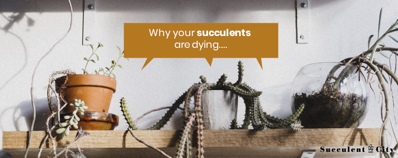 Why Are You Succulents Dying