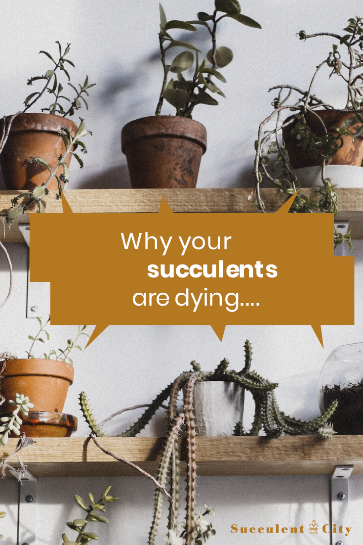 Why Your Succulents Keep Dying (Newbie Guide)