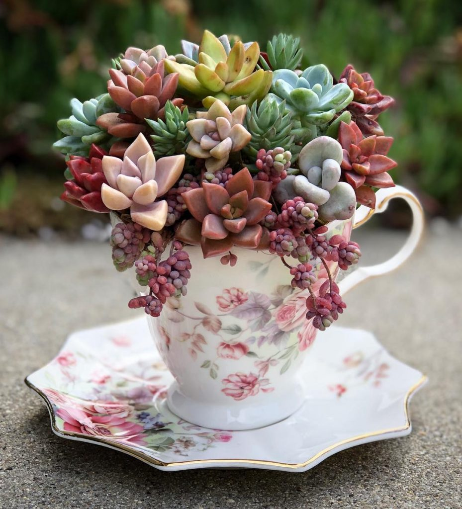 Succulents in tea cup