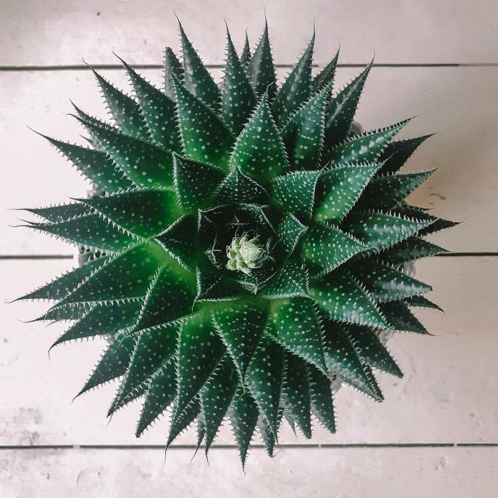 Succulent aloe aristata plant