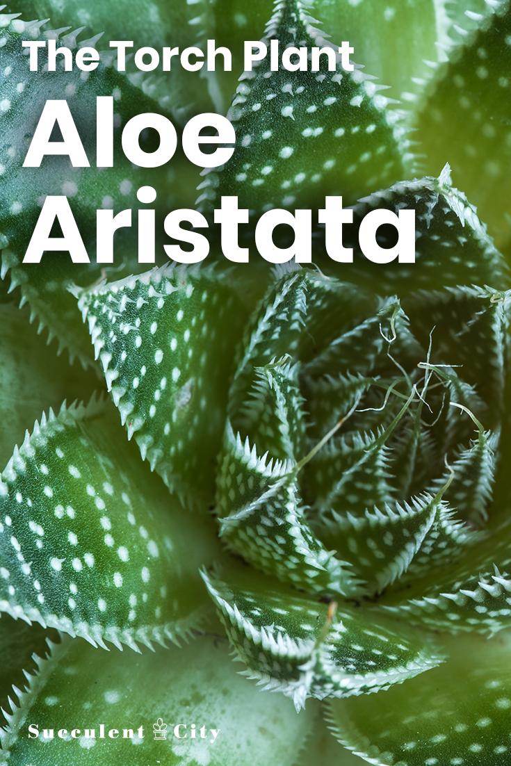 Aloe Aristata— the Torch Plant