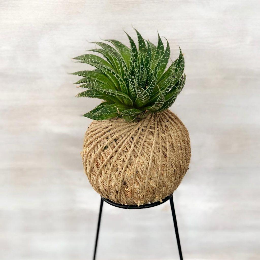 Aloe aristata succulent plant