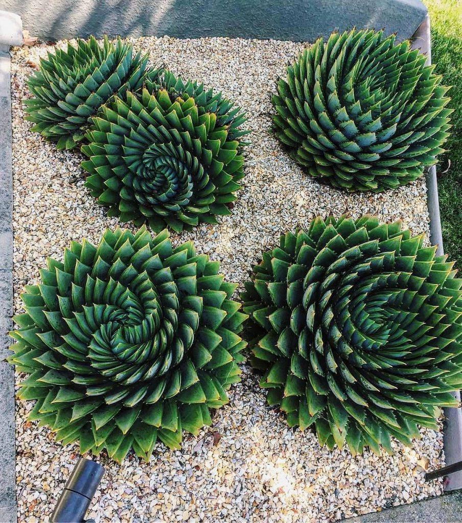 Aloe vera succulent plant