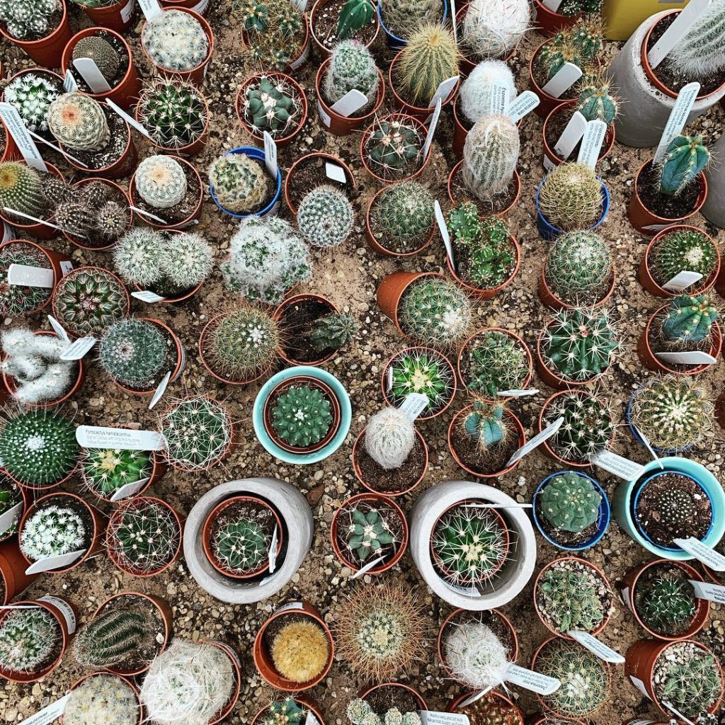 What's the difference between succulents and cacti