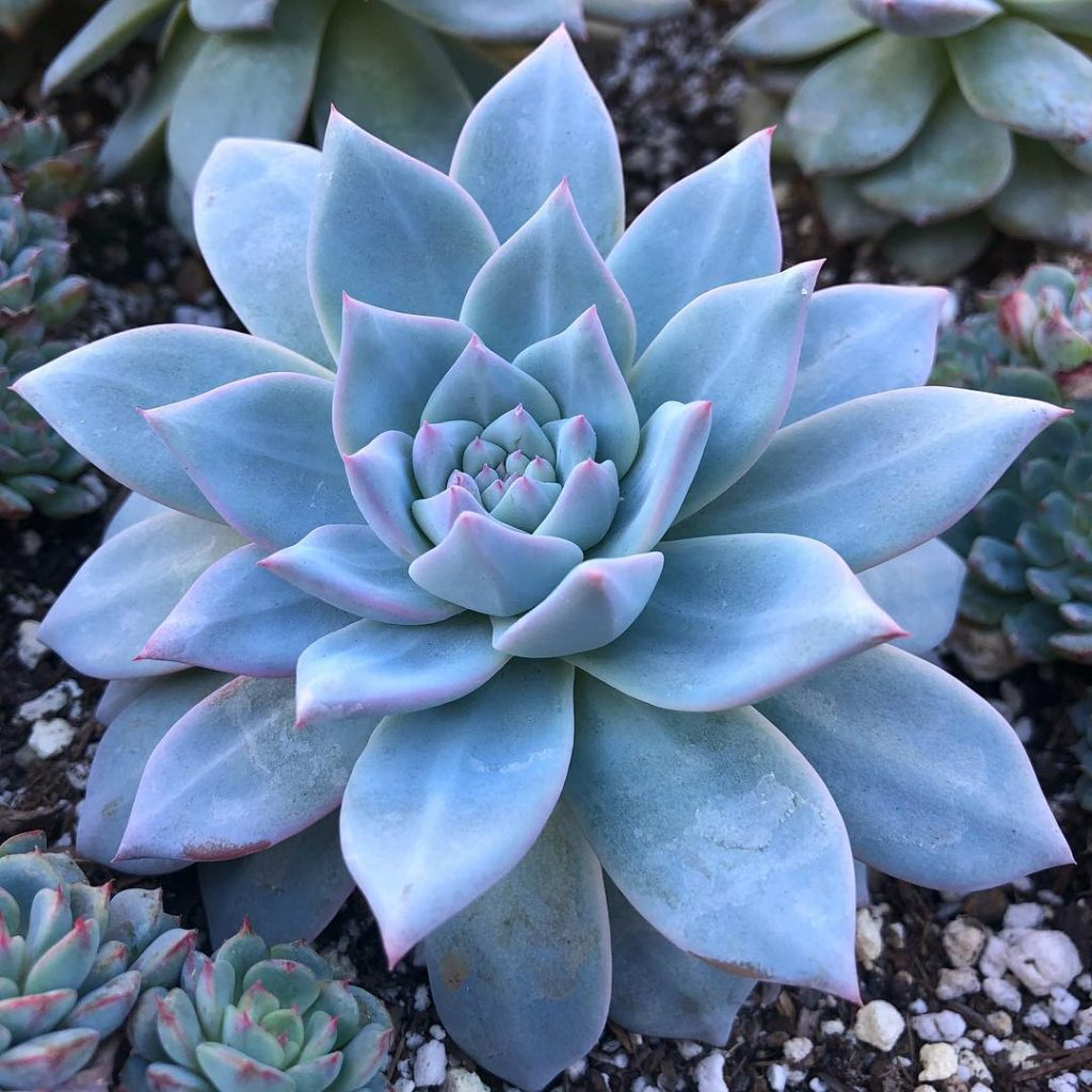 Echeveria 'blue bird' succulent plant