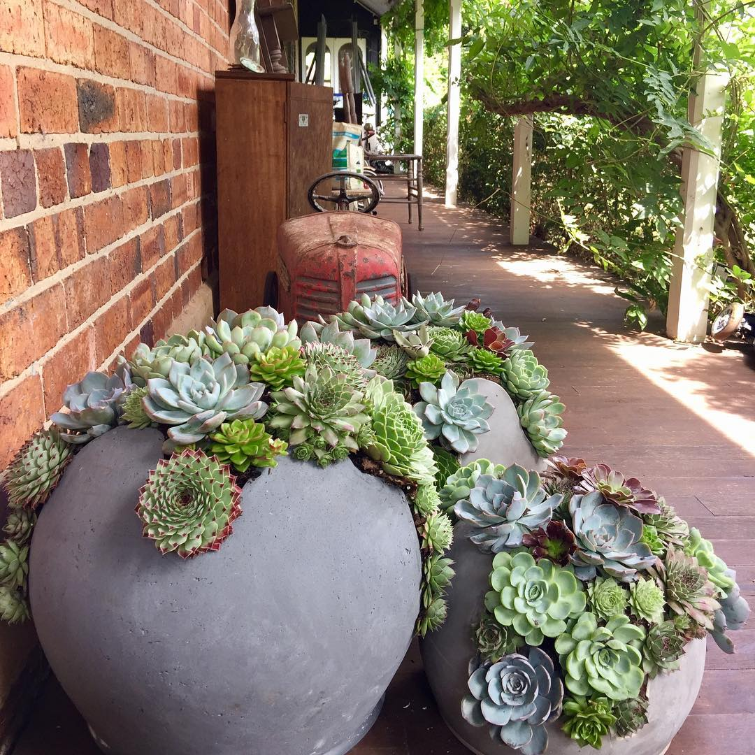 Hens and chicks succulent plants