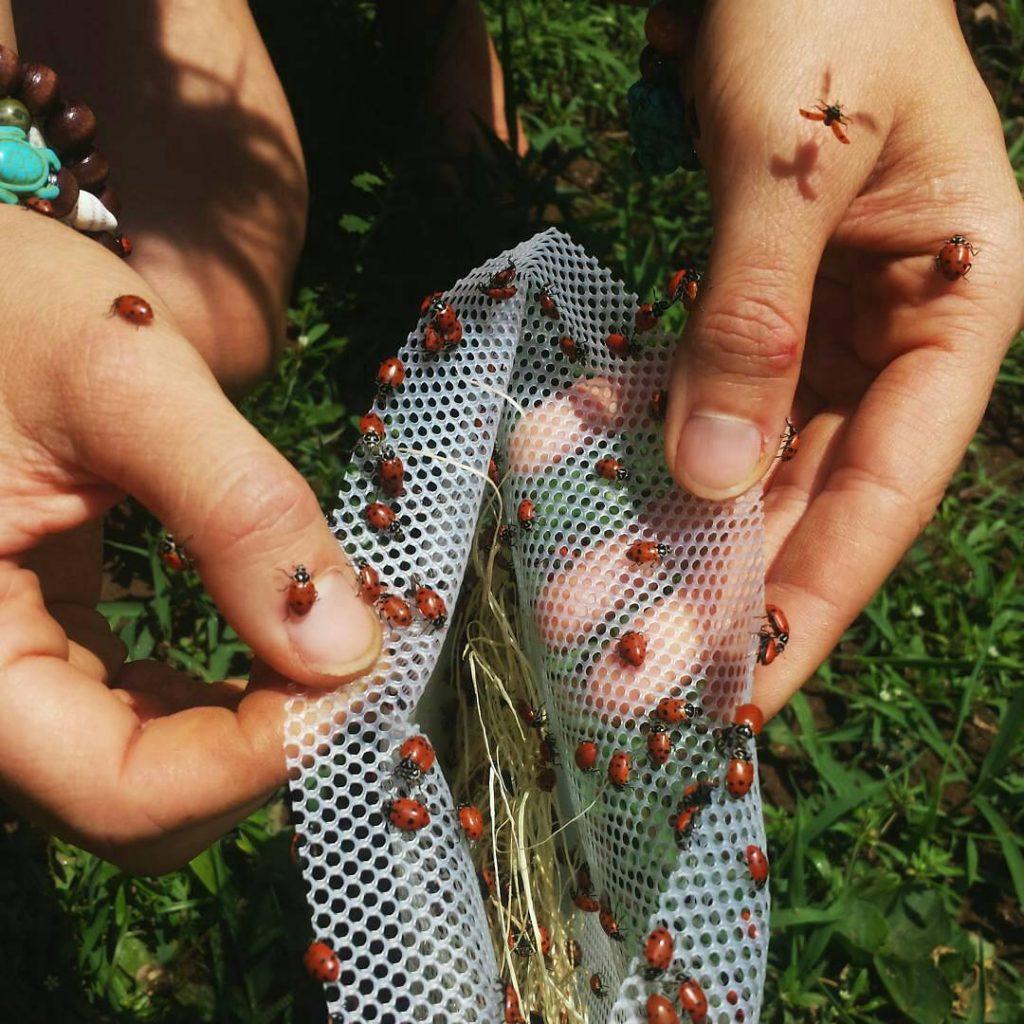 How to get rid of mealybugs using ladybugs