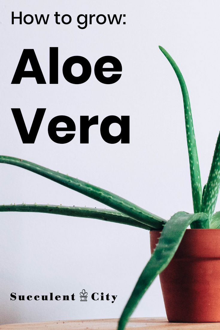 How to Grow Aloe Vera